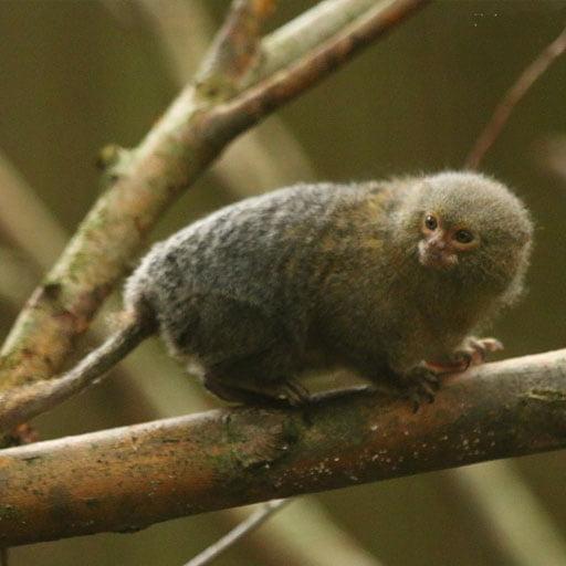 Capítulo 3: mini-macacos da floresta